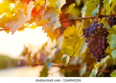 Grape on the vine at sunrise time in Lodi, California