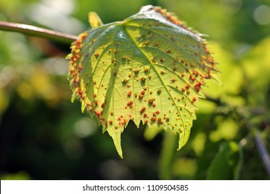 Grape phylloxera (Daktulosphaira vitifoliae) on the vine leaves.