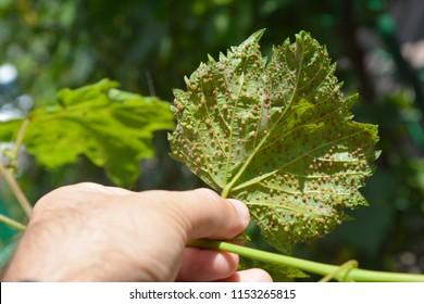 Grape phylloxera diseases.  Grape phylloxera (Phylloxera vastatrix) is a pest of commercial grapevines worldwide.