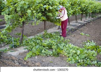 Grape picker, San Joaquin Valley, California