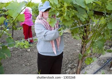 Grape pickers, San Joaquin Valley, California