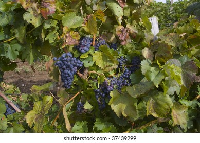 Grape plantation - Eger, Hungary