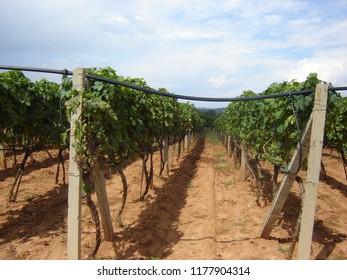 Grape plantation in Medjugorje.