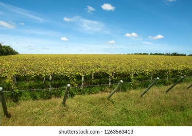 Grape plantation in the region of Petrolina city in the state of Pernambuco