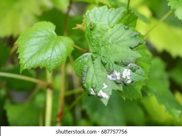 Grape Powdery Mildew. Grapevine diseases. Downy Mildew (Plasmopara vitikola) is a fungal disease that affects a wide range of plants.