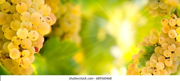 Grape Riesling (wine grape) on grapevine in vineyard - on grapevine