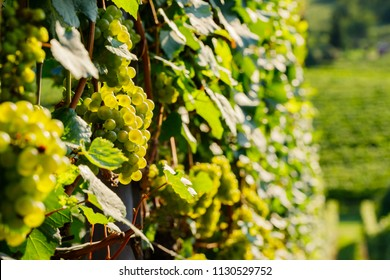 Grape rows of Chardonnay grapes variety, for white wine production. Also called Aubaine, Beaunois, Gamay blanc, Melon blanc, Pinot Chardonnay on vineyard