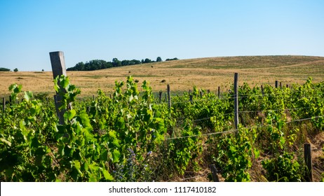 Grape rows with grass and flowers and on the horizon hills and trees