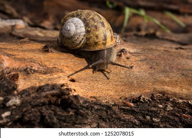 Grape snail crawling on a tree trunk with stripped bark