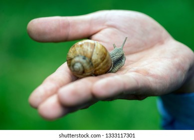 Grape snail in hand, in a natural habitat, a culinary delicacy