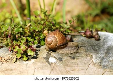 Grape snail (Helix pomatia), terrestrial gastropod mollusk, on a tree stump in the garden, after the rain.