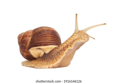 Grape snail isolated on a white background. Helix pomatia, burgundy snail, Roman snail, edible snail, escargot