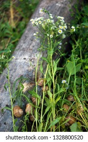 Grape snail, in a natural habitat, a culinary delicacy