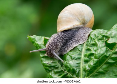 Grape snail on a sheet.