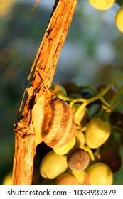 Grape snail on the vine in garden.