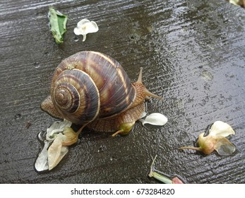 Grape snail on wet stone parapet