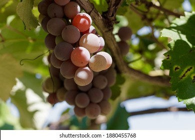 Gewürztraminer grape, sweet purple-colored grapes for wines and desserts, on a vine located in Cordillera-Altos-Paraguay