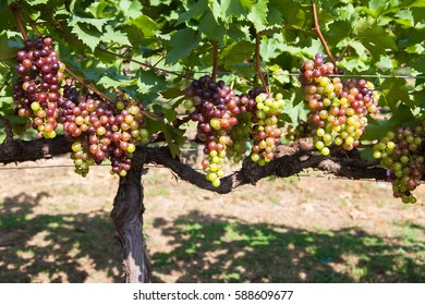 Grape tree and bunch of grapes on a vine in the sunshine.