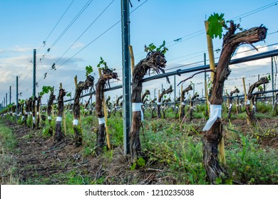 Grape tree pruning. Pruned and trimmed for growth to harvest. View on bare winter vineyard after pruning.