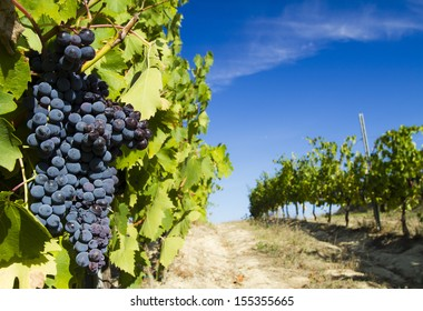 grape in a tuscany vineyard