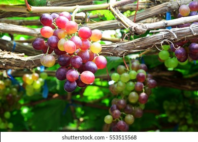 the grape varieties black opal in the vineyard