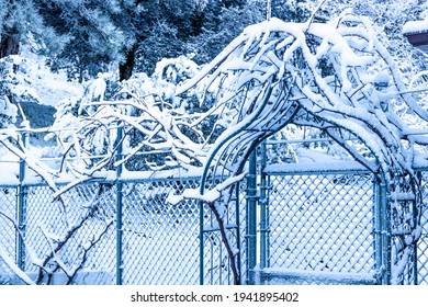 Grape vine arbor over a chain link fence covered in snow in organic winter garden of dormant table grapes, charming peaceful winter scene