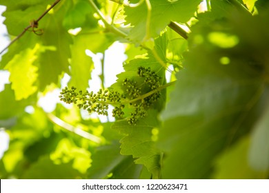 Grape vine flowers