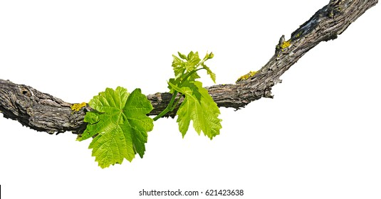 Grape vine isolated on white background