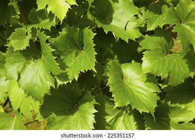 Grape vine leaves in full sun