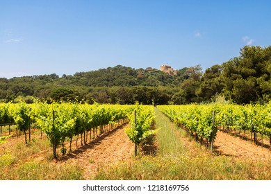 Grape Vine Plantation Vineyard in Provence, Southern France Mediterranean Island Porquerolles