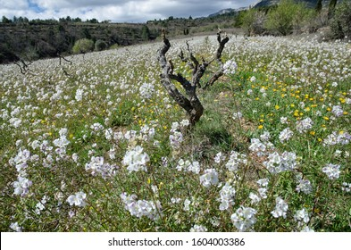 Grape Vine Rootstocks at Covered with Flowers Vineyard