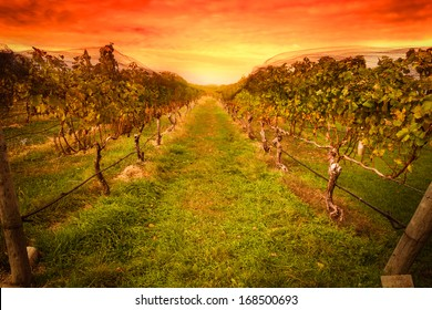 Grape vine at vineyard under idyllic sunset