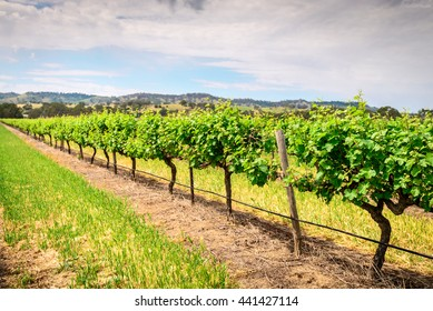 Grape vines in Barossa Valley, South Australia.