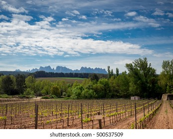 Grape vines in the early stages of growing on a Spanish vineyard with mountain in the background. Dramatic cloud form