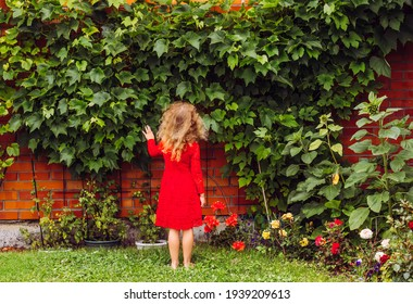 Grape vines growing in home garden, used for decoration on home house wall. 6 year old blonde curly hair girl in red lace dress looking at the grape plant outdoors in summer.