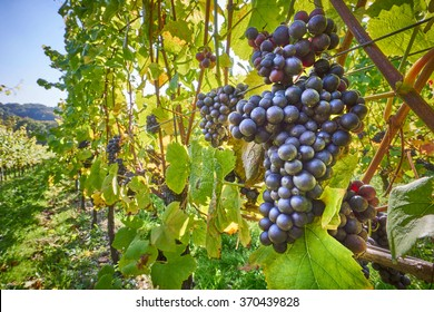 grape vines at harvest time