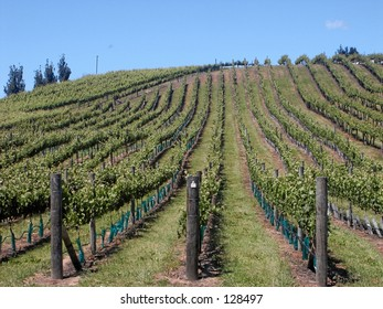 Grape Vines on the Hill