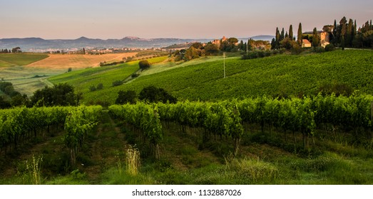 Grape vines for producing wine dominate the countryside outside Montepulciano.