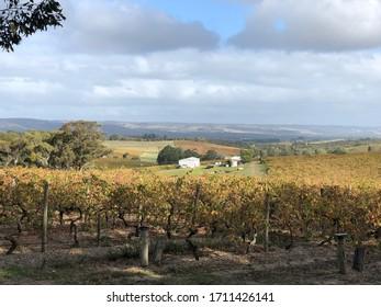 Grape vines , South Australia, in Autumn
