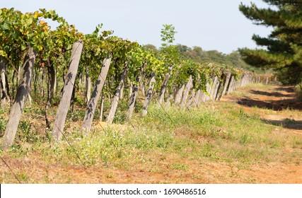 Vine Support Images Stock Photos Vectors Shutterstock