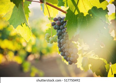 Grape vines in a vineyard, at harvest time.