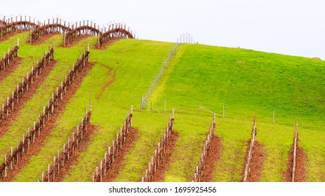 Grape vines in Western Australian Vineyard during Winter
