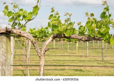 Grape vines in a wine vineyard in bright summer sun.