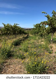 Grape vines with yellow flowers in the foreground under a blue sky