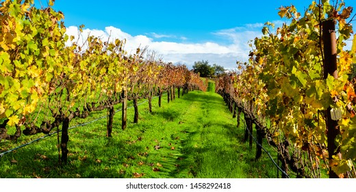 Grape Vineyard in Autumn, with leaves changing colors - Sonoma, California