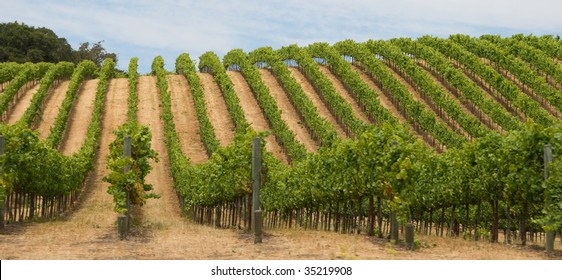 Grape Vineyard in California's Sonoma County Wine Country