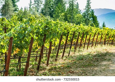 grape vineyard in napa valley california and backlit in morning