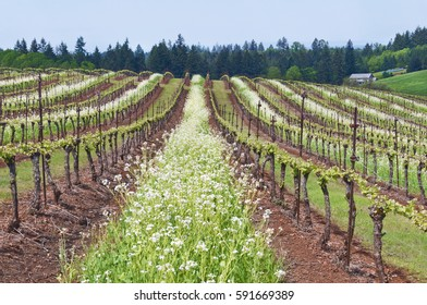 Grape vineyard of Pinot Noir in Oregon State with summer white blossoms between rows with blue sky/Grape vineyard in Oregon State with white blossoms and blue sky