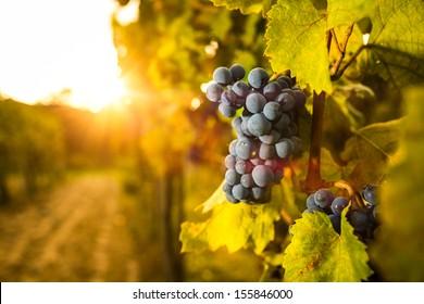 Grape in the vineyard. Shallow depth of field.