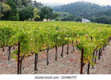 grape vineyard in St. Helena, California